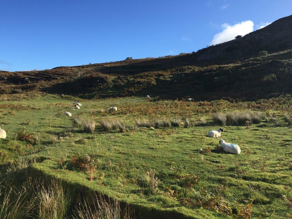 mouton ecossais